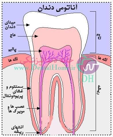 قسمت ها بخش های دندان